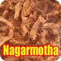 Nagarmotha for puja Nagarmotha (Cyperus rotundus), a cosmopolitan weed, is found in all tropical, subtropical and temperate regions of the world..