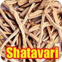 Shatavari for puja Shatavari (Asparagus racemosus) is found in the Indian forests, the roots of which are of high medicinal value and used for ..