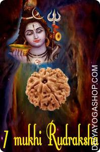 Seven mukhi java rudraksha This Seven Mukhi Rudraksha is expounded to Seven Seas The person who wears this Seven Mukhi Rudraksha after correct Sidhhi ( technique of purification & charging with Mantra) will remain contented like the seven seas...