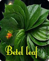 Betel Leaf (101 pieces)