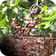 Jamun tree wood for havan