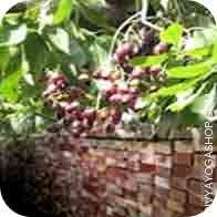 jamun-tree-wood-for-havan.jpg